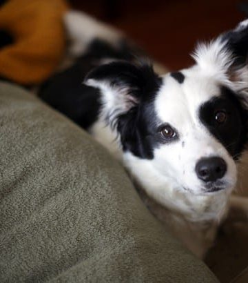 A black and white dog sits on top of a olive green and taupe couch