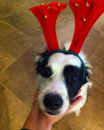 A black and white dog's snout is tilted up toward the camera as she wears a red and green reindeer antler headband