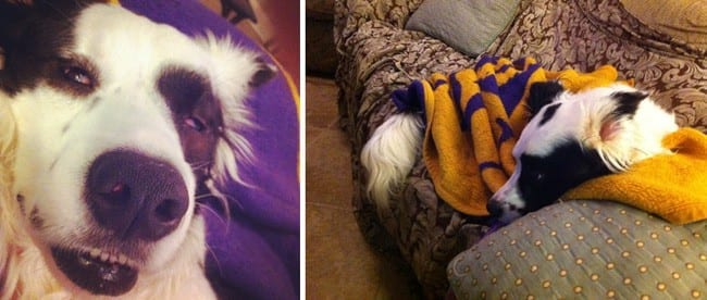 Collage of two images showing a dog sleeping on a purple and yellow blanket