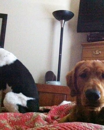 A black and white dog and a golden retriever sit on a red comforter in a bedroom