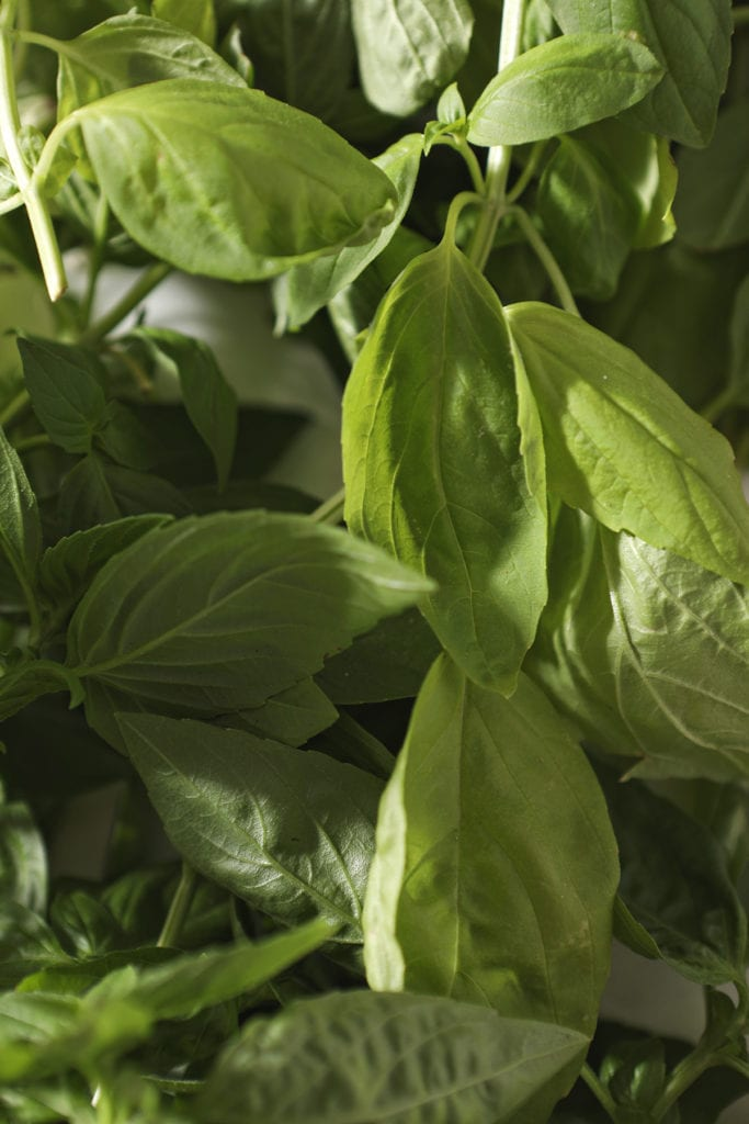 A bunch of fresh basil leaves