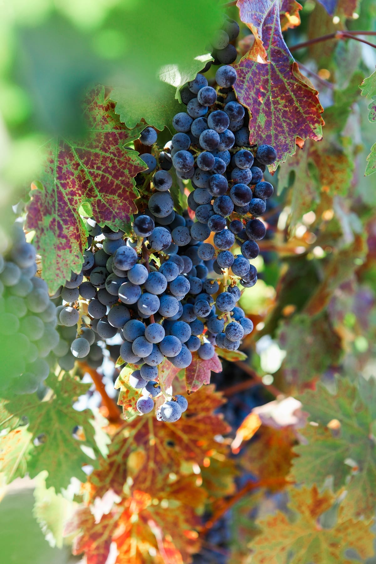 A bunch of wine grapes on a vine